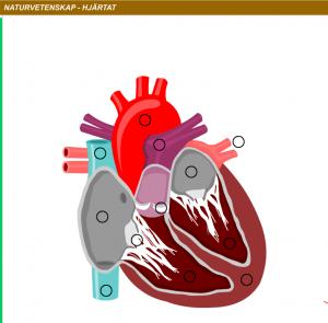 hjärtats delar latin